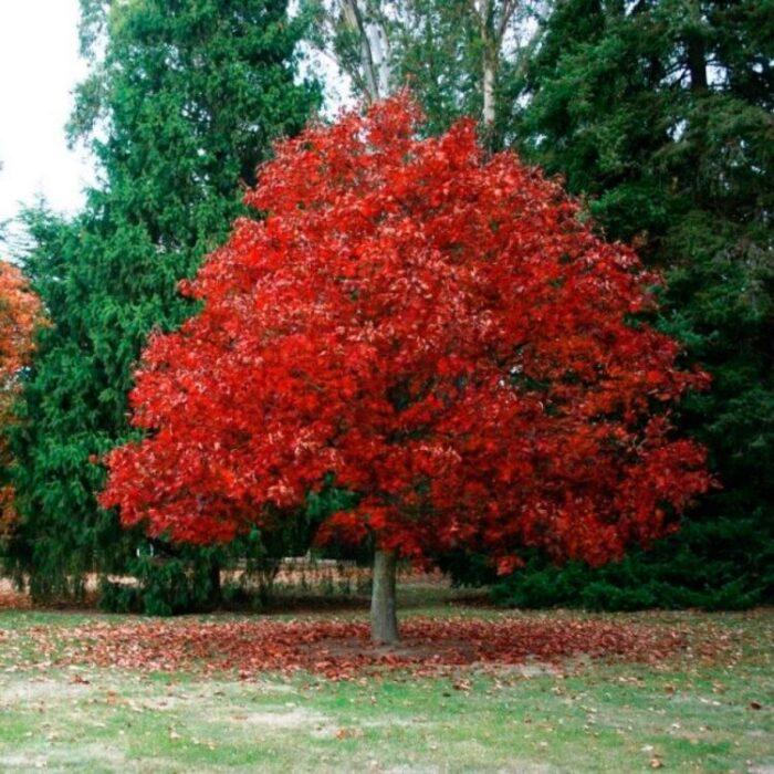 Саженец Дуб Красный Quercus rubra