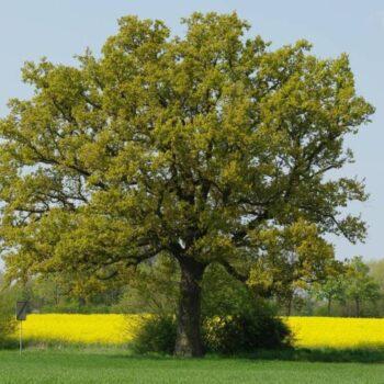 Саженец Дуб Черешчатый Quercus robur
