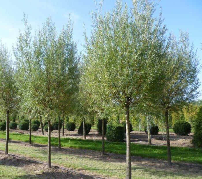 Саженец Ива белая Salix alba