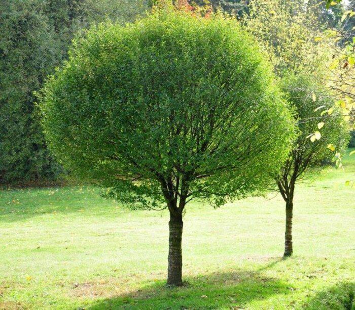 Саженец Ива шаровидная Salix fragilis