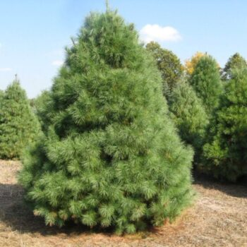 Саженец Сосна Веймутова Pinus Strobus